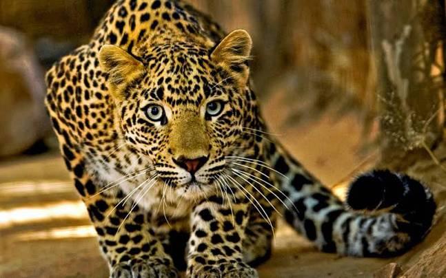 Leopard captured alive in Ganderbal's Mansbal