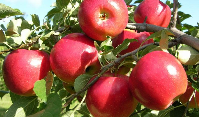 Sub-standard pesticide wreck havoc on apple production as production goes down by 40 per cent in Valley: Apple growers