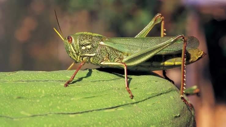 Swarms of locusts attack Marathwada region