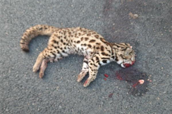 Leopard cub crushed to death in Baramulla