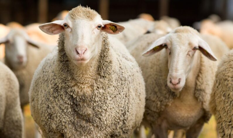 35 sheep worth lakhs of rupees stolen from South Kashmir hamlet