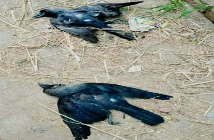 Bird flu confirmed in crows, migratory birds not in Poultry: Officials