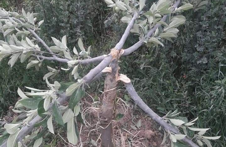 Unknown persons cut down apple trees in Pulwama village