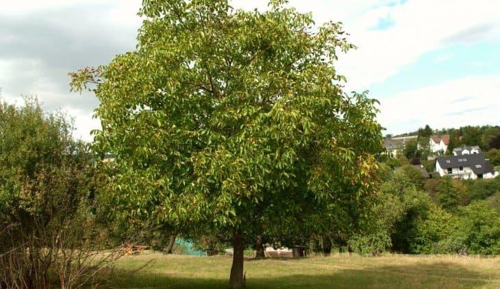Fall from walnut tree: An occupational hazard in Kashmir;      6 people lost lives in last one week, three injured